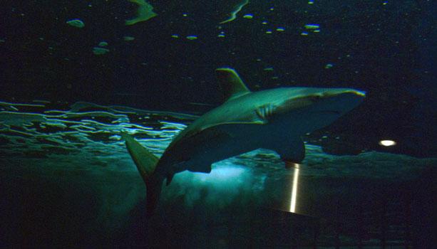 【GTA5の動物】海で泳いでいるとサメに食われる!?危険だがトロフィー獲得も